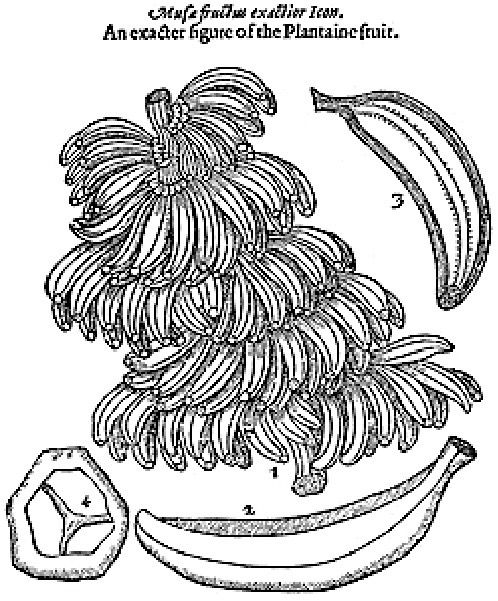 "A bunch of bananas as depicted in Johnson's ""Herball"" reference book and described as Plantaine fruit"