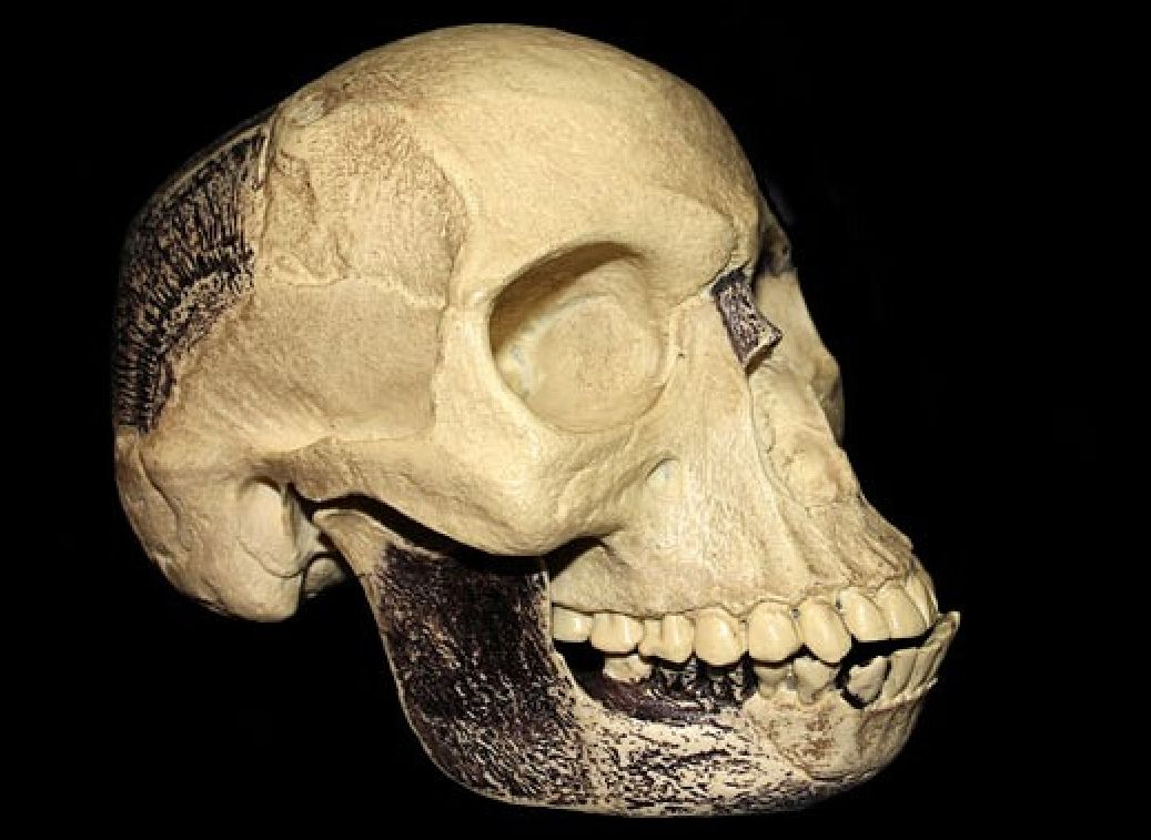 A replica of the Piltdown skull.