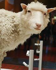 Sheep Dolly the Sheep