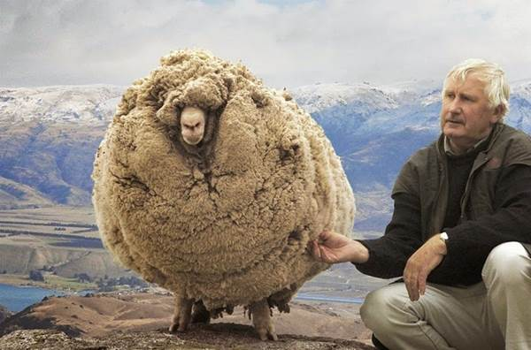 Shrek the sheep, after escaping shearing for 6 years!